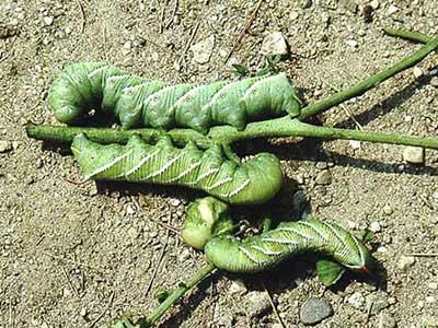 Hornworms on tomato