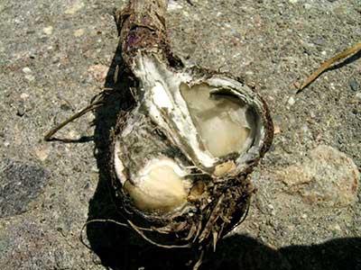 White rot on garlic