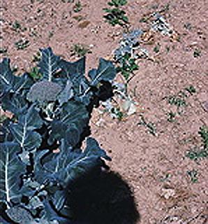 Cabbage maggot damage on broccoli