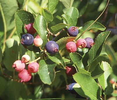 Amelanchier fruit