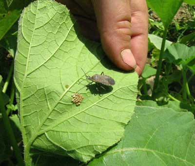 Squash bug adult and eggs