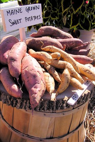 Maine-grown sweet potatoes at Johnny's Selected Seeds' demonstration garden
