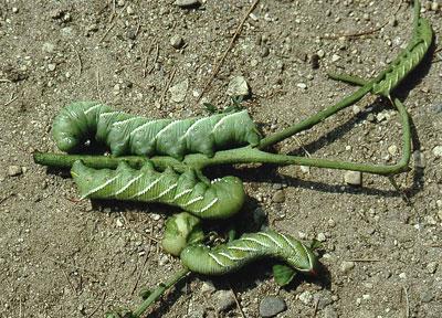 Hornworms on tomato vine