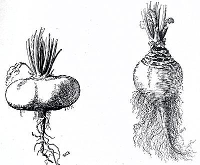 Turnip and rutabaga