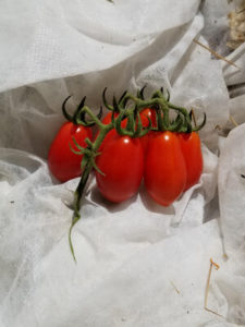 59 of 27,017 Picot Italian Cherry tomatoes by Valerie Jackson