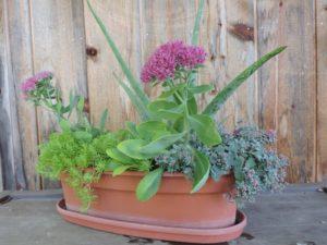 Aloe vera, 3 varieties sedum & portulaca by Jeffrey Mabee