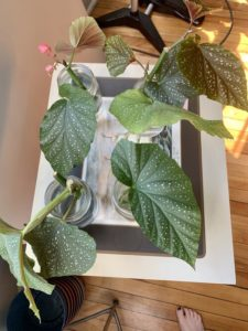 Angel wing begonia cuttings propagating in water by Melissa DeStefano