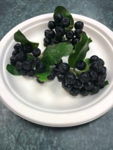 """Aronia, """"Chokeberry"""". Will be jelly and an addition to elderberry syrup. by Amy Frances LeBlanc"""