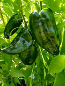Baron poblano pepper by Anne Warner