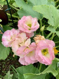 Beautiful organic flowers in my community garden plot by Melissa DeStefano