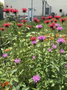 Bee Balm, Purple and Red by Matthew Dubois