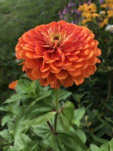 Benary's Giant Zinnia, Orange by Matthew Dubois
