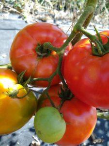 Big Beef beefsteak tomato by Anne Warner