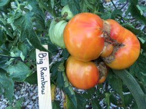 Big Rainbow Tomato by St. Mary's Nutrition Center Lots to Gardens