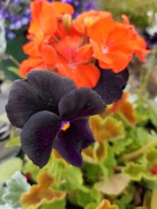 Black Violas by Valerie Jackson