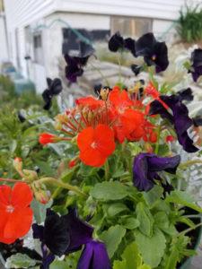 Black Violas and Orange Geranium by Valerie Jackson