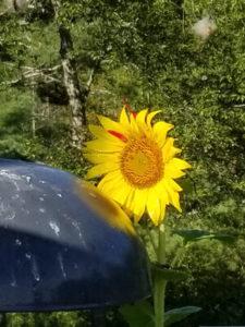 Black oil sunflower planted by chipmunks by Valerie Jackson