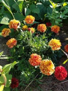 Flowers- Blonde Marigolds by Valerie Jackson