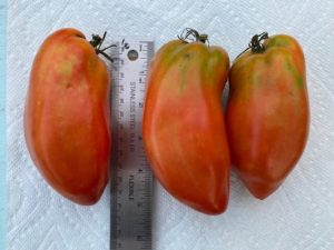 Blue Beech Paste Tomato - orig. seed from Fedco by Hillary McAllister