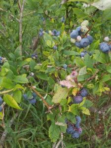 Blue crop high Bush blueberries by Valerie Jackson