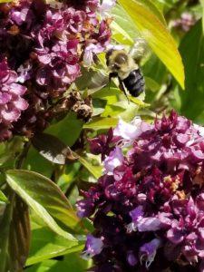 Bumblebee between flowers collecting pollan by Valerie Jackson