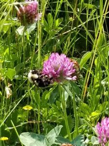 Bumblebee on purple clover by Valerie Jackson