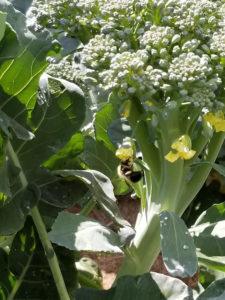 Bumblebee pollinating Broccoli by Valerie Jackson
