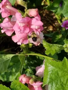 Bumblebee pollinating Pink Snap Dragons by Valerie Jackson