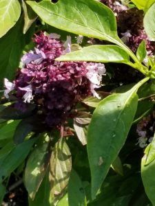 Bumblebee pollinating this basil by Valerie Jackson
