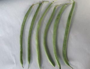 Bush bean Provider by New Maple Master Gardener