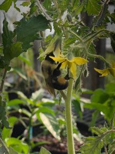 Busy Bumblebee on a tomato blossom by Amy Frances LeBlanc
