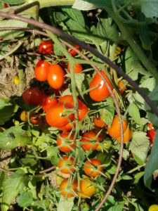 Cherry tomatoes 100 by Valerie Jackson