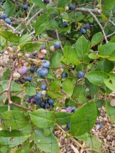 Collins Highbush Blueberries by Valerie Jackson