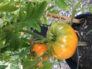 Dr. Wyches Yellow tomato by St. Mary's Nutrition Center Lots to Gardens