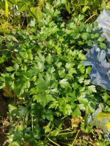 Flat leaf parsley by Valerie Jackson