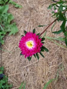 Flowers Pink Zinnia by Valerie Jackson