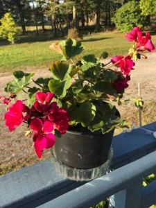 Geraniums by Ronie Strout