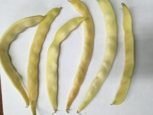 Gold of Bacau Pole bean by St. Mary's Nutrition Center Lots to Gardens