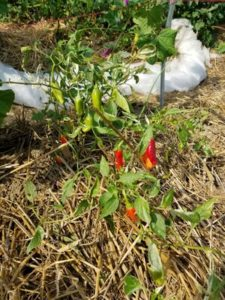 Heirloom Fish Hot Peppers by Valerie Jackson