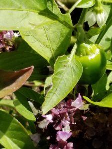 Heirloom Menonite Sweet pepper Valerie Jackson