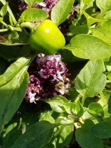 Heirloom Menonite Sweet pepper, Thia basil, Bumblebee pollinating by Valerie Jackson