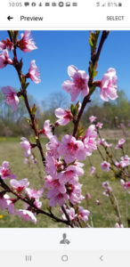 Heirloom Stone Free Peach tree blossoms at Medomak Valley High Schools Arboretum submitted by Valerie Jackson
