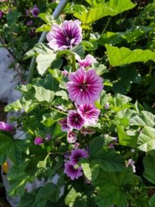 Heirloom Thomas Jefferson French Mallow by Valerie Jackson