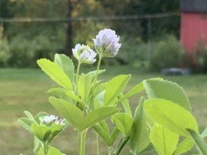 Herb plant. Blue Fenugreek by Martha Gottlieb