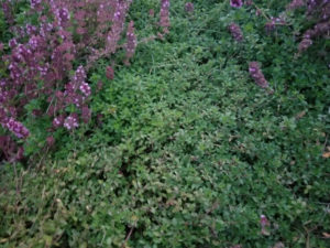 Herbs-Mother of Creeping Thyme by Valerie Jackson