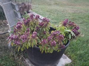 Herbs - Thai Basil Barrel by Valerie Jackson