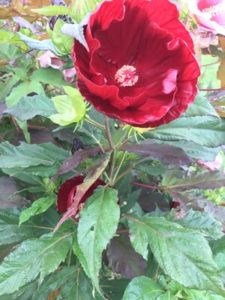 Hibiscus, Heartthrob by Matthew Dubois