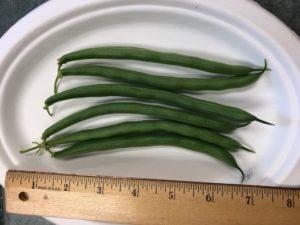 Hickok Snap Beans by Amy Frances LeBlanc