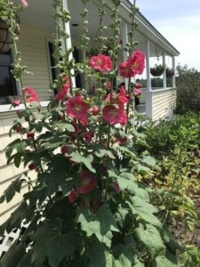 Hollyhock, Giant Red by Matthew Dubois