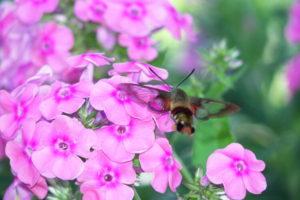 Hummingbird Moth on fall phlox by Amy Frances LeBlanc